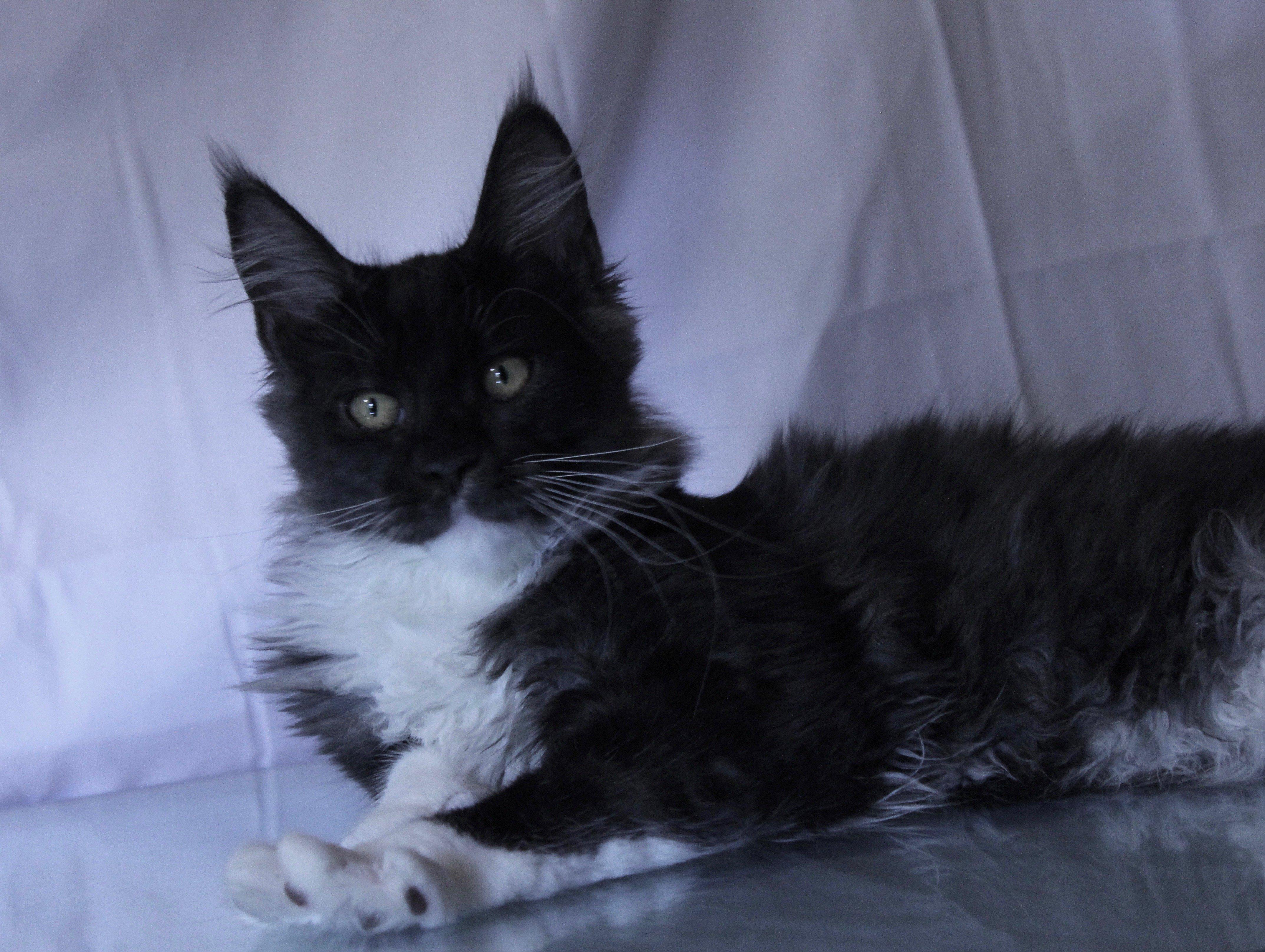 Black Smoke Maine Coon Kitten Arrives at Sassy Koonz